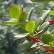 Толстянка компактная, Crassula compacta (Minor)