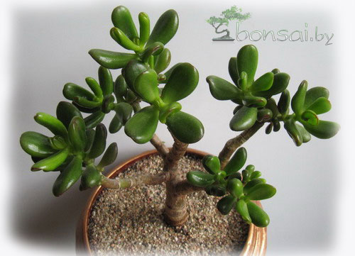 bonsai-crassula-hollum-2