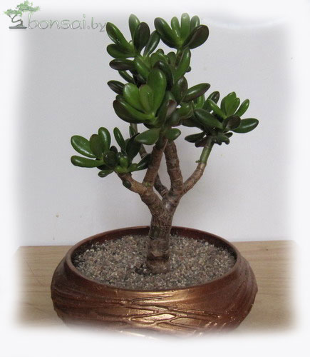 bonsai-crassula-hollum