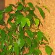 Фикус Бенджамина (Ficus benjamina Exotica)
