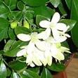 Мурайя метельчатая (Murraya paniculata (L.) Jack)