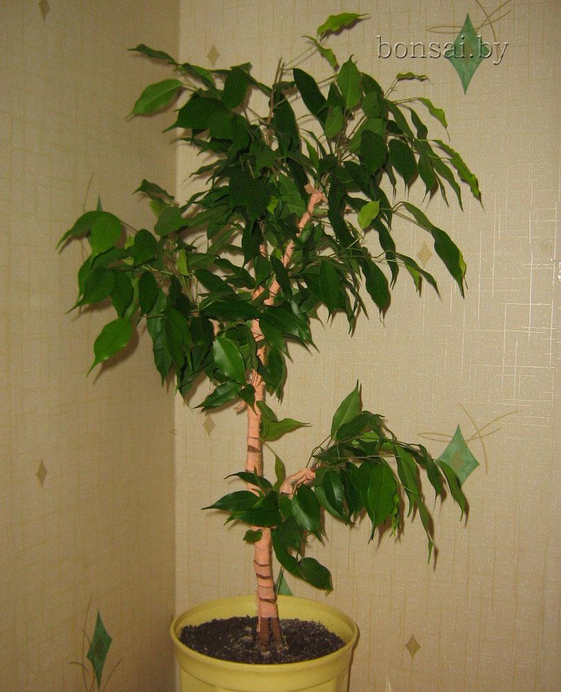 сформированный фикус в виде дерева
