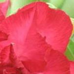 расцветка лепестков сорта Doxzon