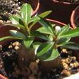 Выращивание адениумов из семян. Часть первая