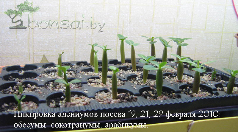 10-02-10_adeniums