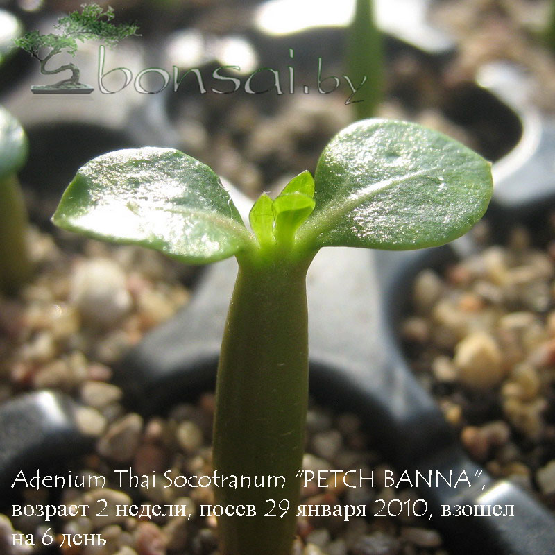 "Adenium Thai Socotranum ""PETCH BANNA"""