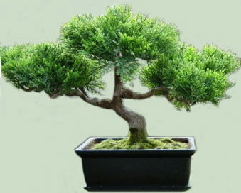 bonsai-mojjevelnik