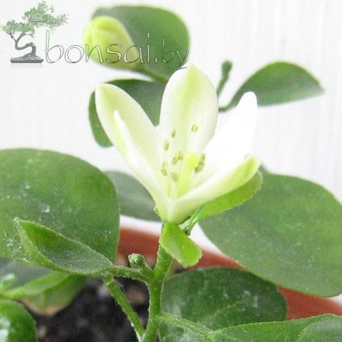 цветок-мурайи