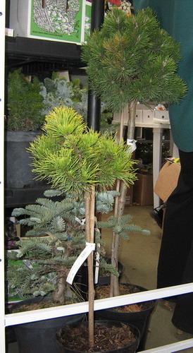 stam-pine