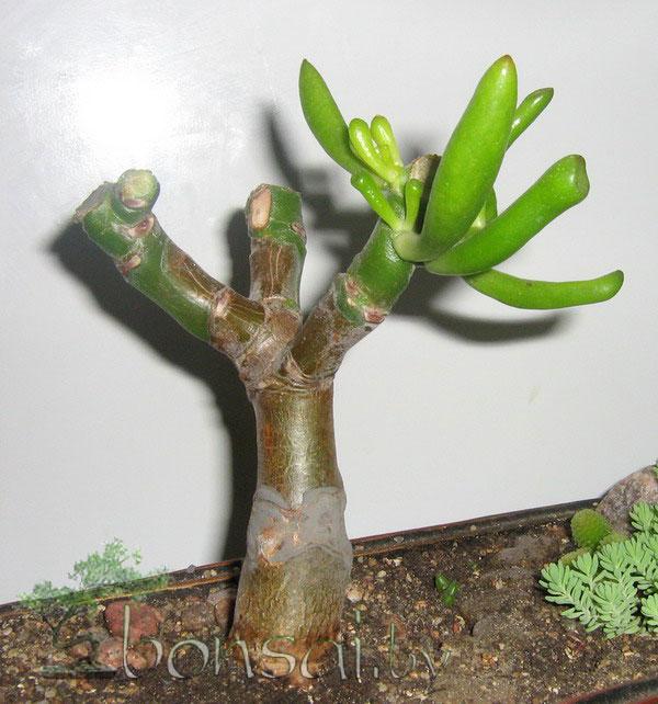 crassula-hobbit