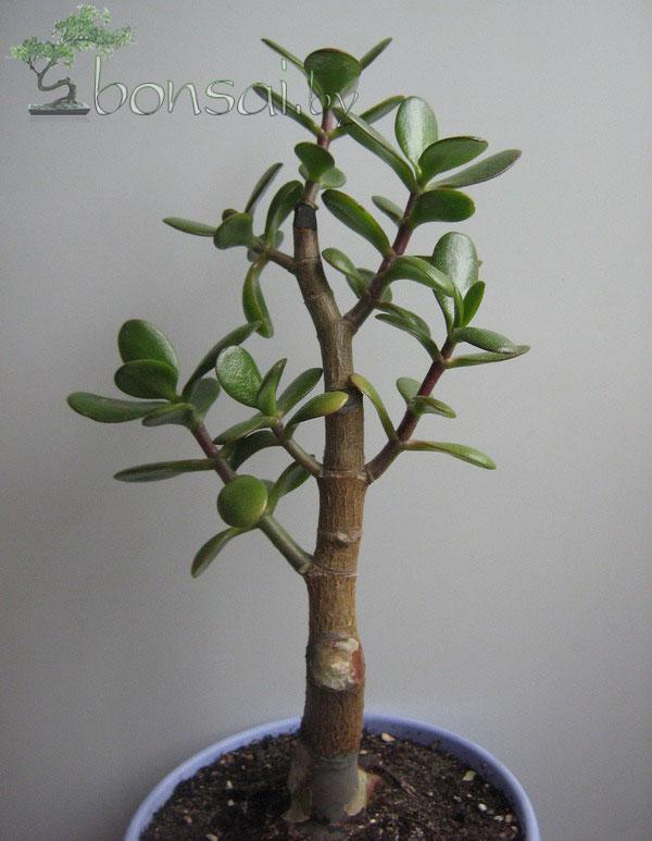 crassula-ovata-19-05-10