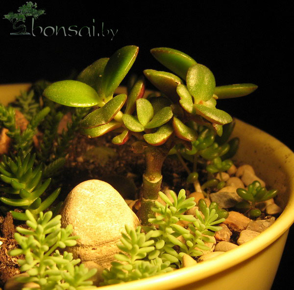 crassula-Minor