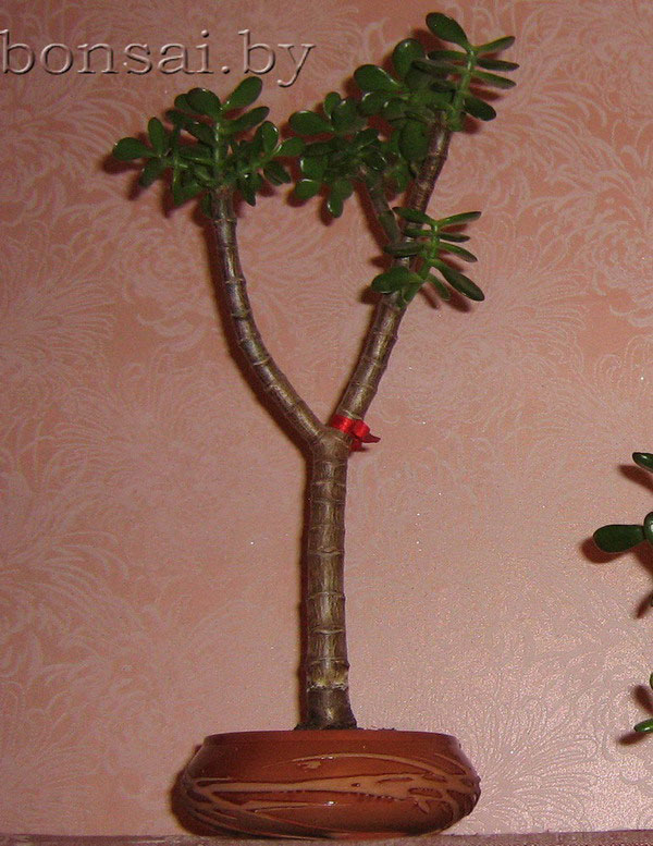 crassula_compacta_bonsai