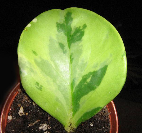 peperomia-variegata