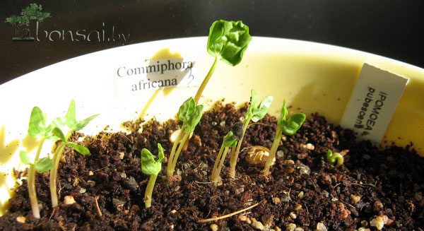 ipomoea-pubescens-commiphora-africana