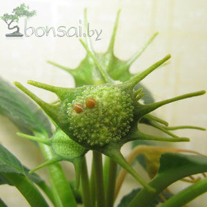 Dorstenia-foetida-2
