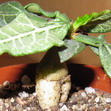 Эуфорбия Франкуази — Euphorbia Francoisii