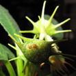 Дорстения фоэтида — Dorstenia foetida