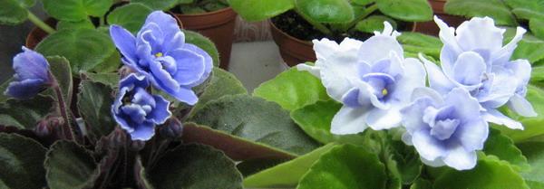 Blue-Victoria-(Volkmann)-1
