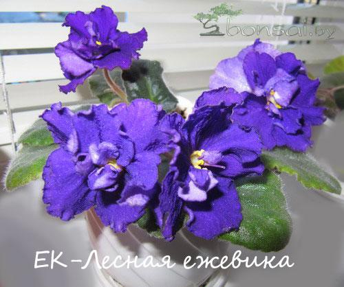EK-lesnaya-ejevika