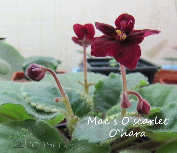Mac`s-O`scarlet-O`hara-1
