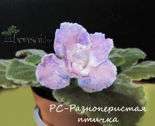 RS-raznoperistaya-ptichka