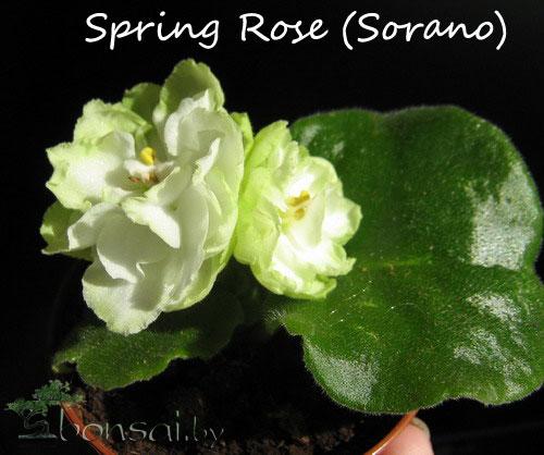 Spring-Rose-(Sorano)