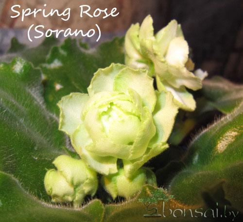 Spring-Rose