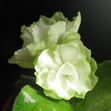 Фиалки-сенполии: цветотерапия