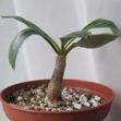 Эуфорбия примулифолия — Euphorbia primulifolia var. begardii