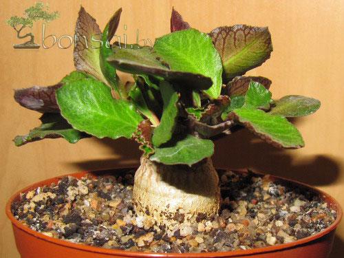 euphorbia-ambovombensis