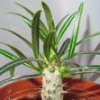 Пахиподиум розулатум грасилис — Pachypodium rosulatum gracilis