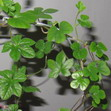 Посевам Ipomoea pubescens, Sedum obtusifolium, Tylecodon luteosquamata 6 месяцев