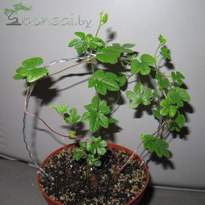 ipomoea-pubescens