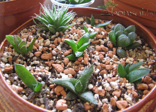 Haworthia-mix