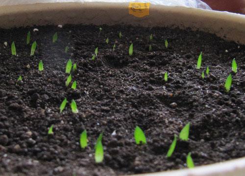 seedling-haworthias