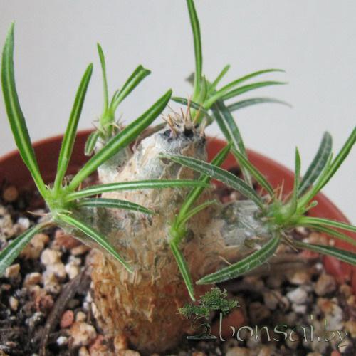Pachypodium-rosulatum-gracilis