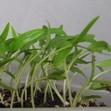 Олеандр из семян