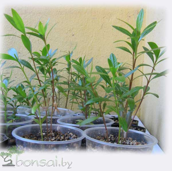 Oleander-seedlings2