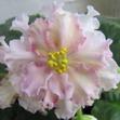 Фиалки Sunkist rose и Mac`s very indigo
