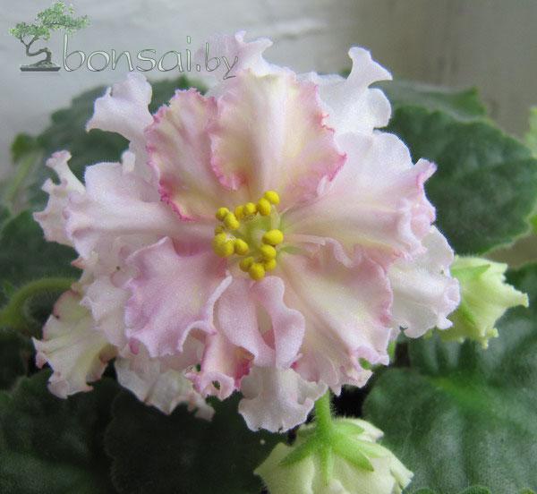 sunkist-rose