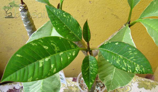 Plumeria_Yellow--Variegate