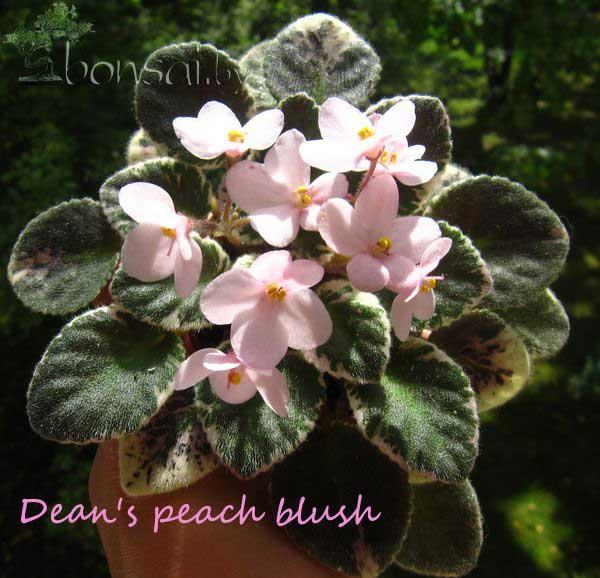 Dean's-peach-blush