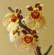 Цветение орхидеи толумнии Jairak Firm 'Peach'