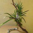 Эпифитное дерево для орхидей своими руками