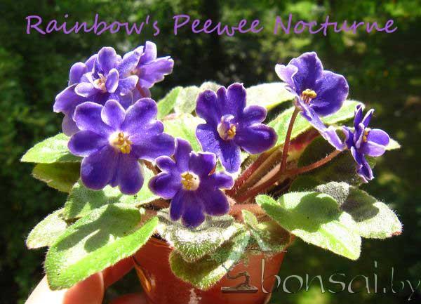 Rainbow's-Peewee-Nocturne