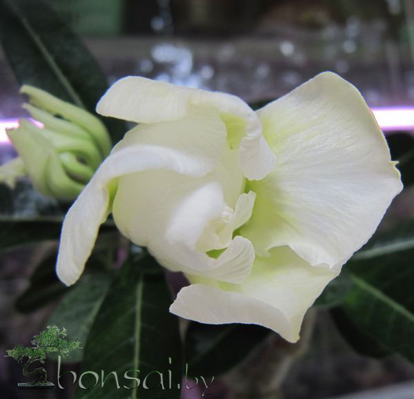 adenium-white-rose