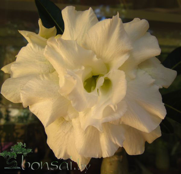 adenium-white-rose1