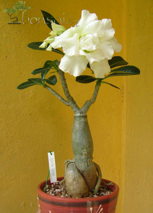 adenium-white-rose2