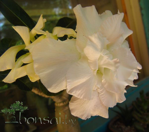 adenium-white-rose3